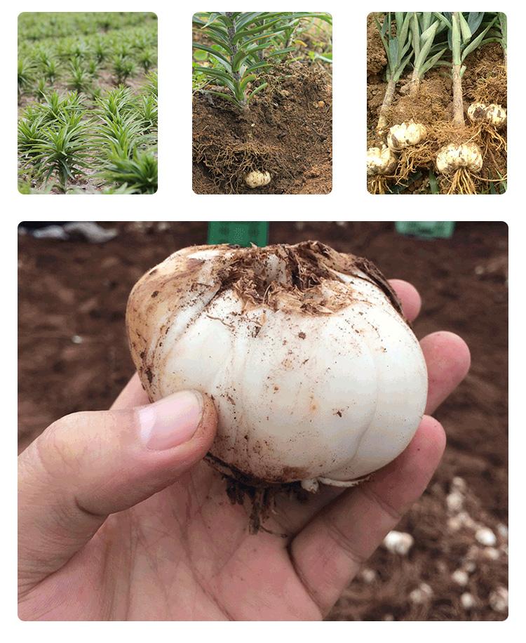 甘肃兰州鲜百合200g 约8-10头 现挖农家食用甜百合干 新鲜蔬菜 产地直发包邮