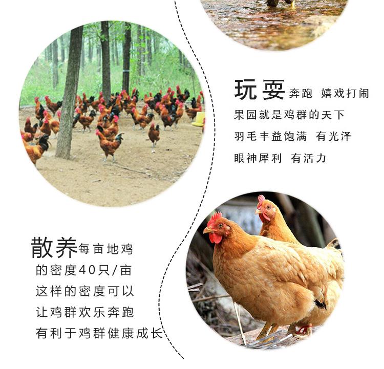 买1只送3只 农家散养土鸡三黄鸡童子鸡嫩鸡肉 走地鸡笨鸡 新鲜生鸡肉 整只装 700g/只