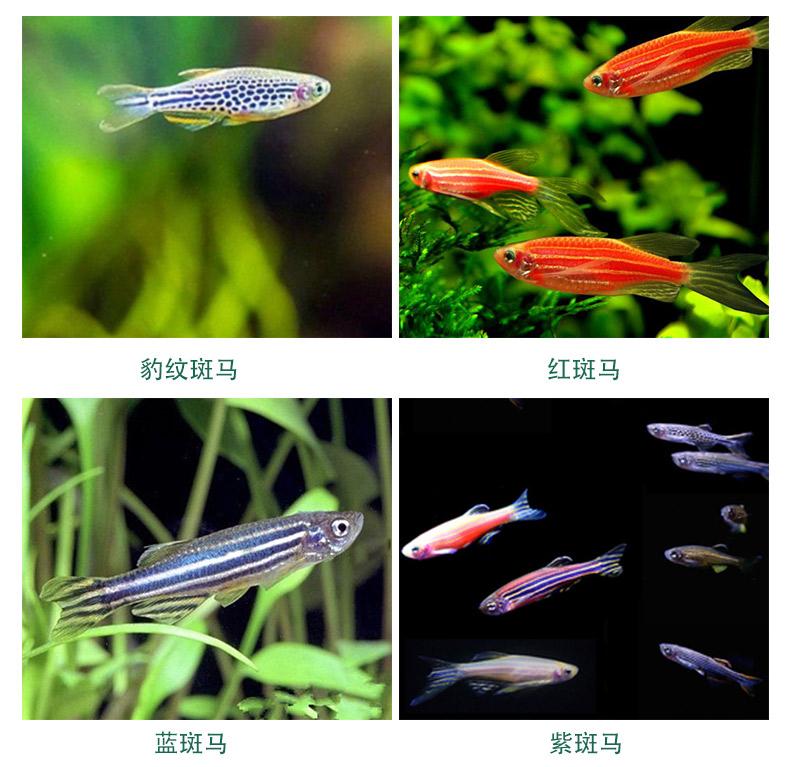 观赏鱼小型热带鱼活体宠物热带斑马鱼红绿灯鱼淡水鱼包活红斑马、蓝斑马、黄斑马、(共20条)