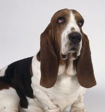 【巴赛特猎犬】nongfuspring 巴吉度猎犬